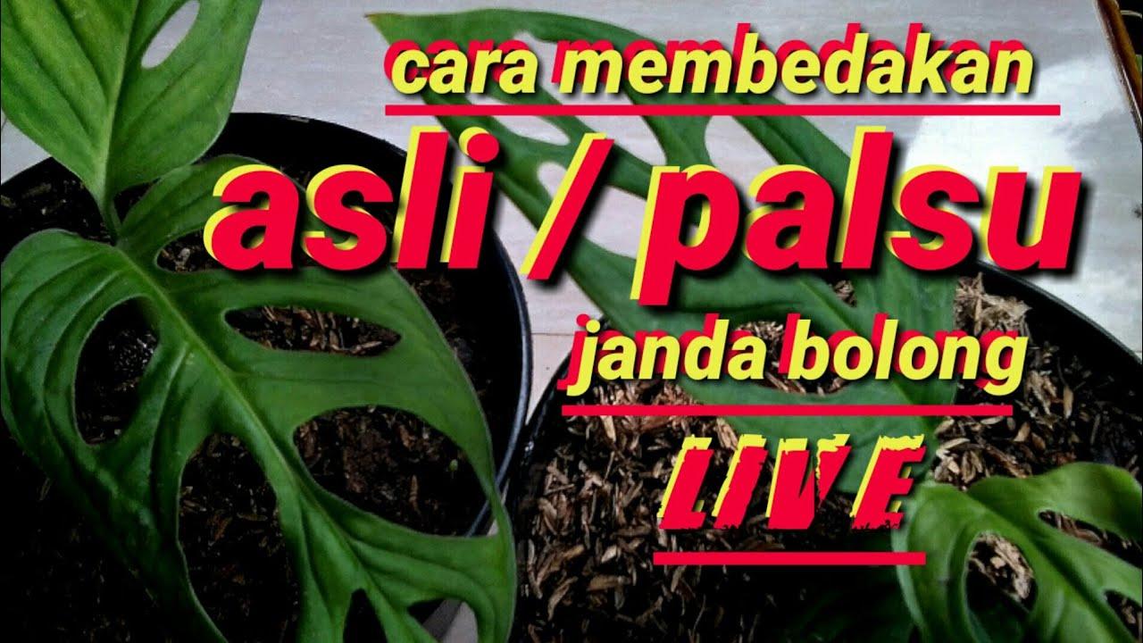 Janda Bolong Live Pembuktian Youtube