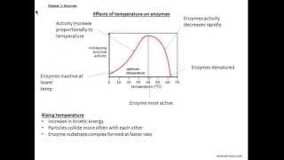 O'levels biology Chapter 4: Enzymes