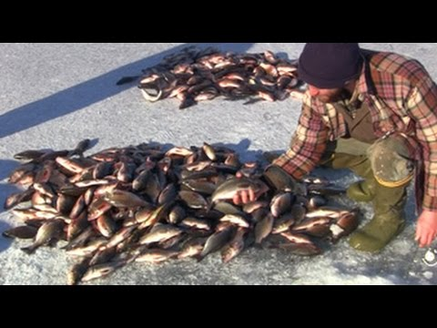 Too Many White Perch - Lake Champlain, Vermont