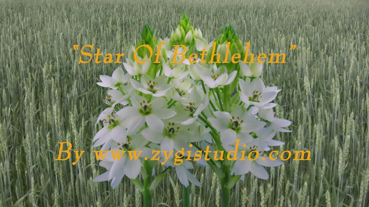 Time lapse of growing white star of bethlehem flower youtube time lapse of growing white star of bethlehem flower mightylinksfo