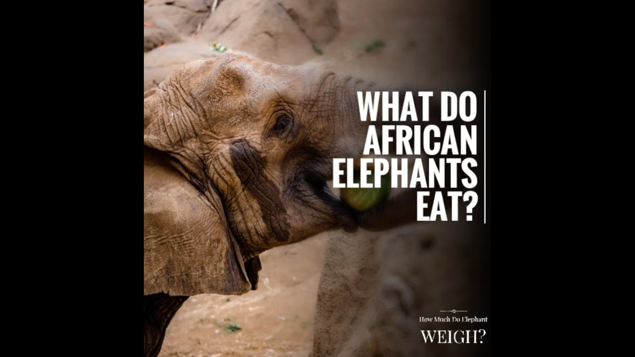 What Do African Elephants Eat - Youtube-8821