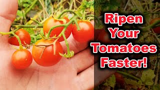 How To Ripen Tomątoes On The Vine Faster In 2020!