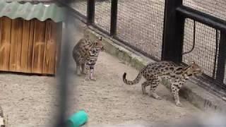 Бенгальские кошки 22.05.18