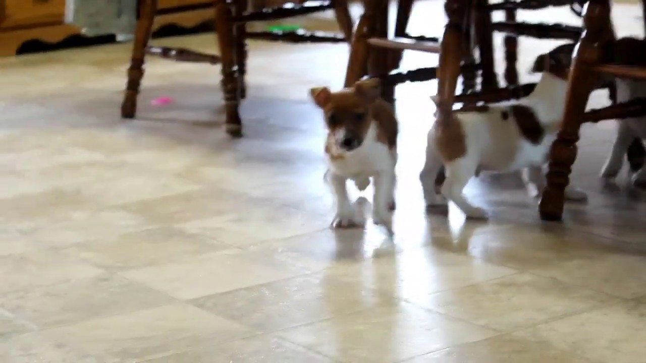 Jack Russell Terrier Puppies For Sale Ruth Ann Hoover