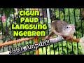 Ciblek Gunung Gacor Ngebren Untuk Masteran Anakan Cigun Agar Langsung Ngeriwik Dan Nembak Ngebren  Mp3 - Mp4 Download
