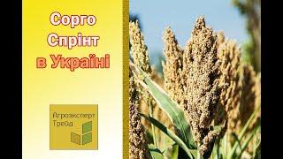 Сорго Спринт в Украине