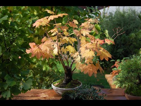 ACER CIRCINATUM: Vine Maple Bonsai #18