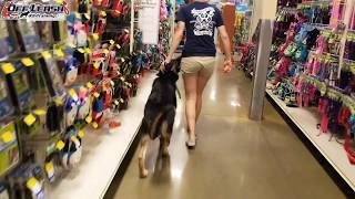 """6 Month Old German Shepherd """"Ranger"""" Before/After Video 