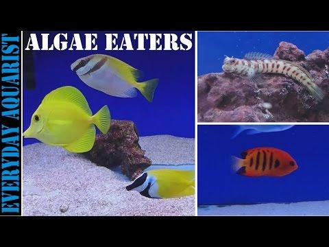Best Marine Saltwater Algae Eating Fish