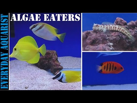 Best Marine Saltwater Algae Eating Fish