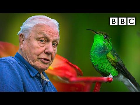 David Attenborough meets a very glamorous hummingbird 😍 BBC