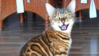 Bengal cats Scream, Chirp and Meow very loud!