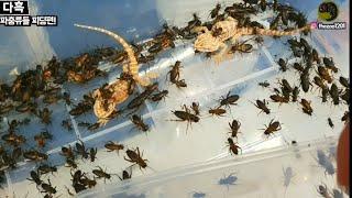 귀뚜라미 수백마리를 단 5분만에 먹입니다