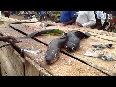 Live Cut Catfish in Ggaba   Lake Victoria Uganda