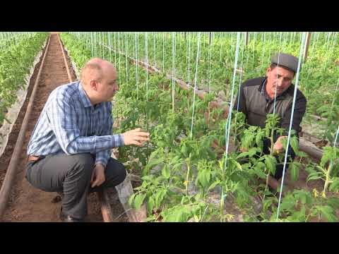 """Выращивание томата """"ФЕНДА"""" - Тонкости выращивания помидора"""