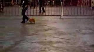 Pomeranian (misty) Show In Belgium