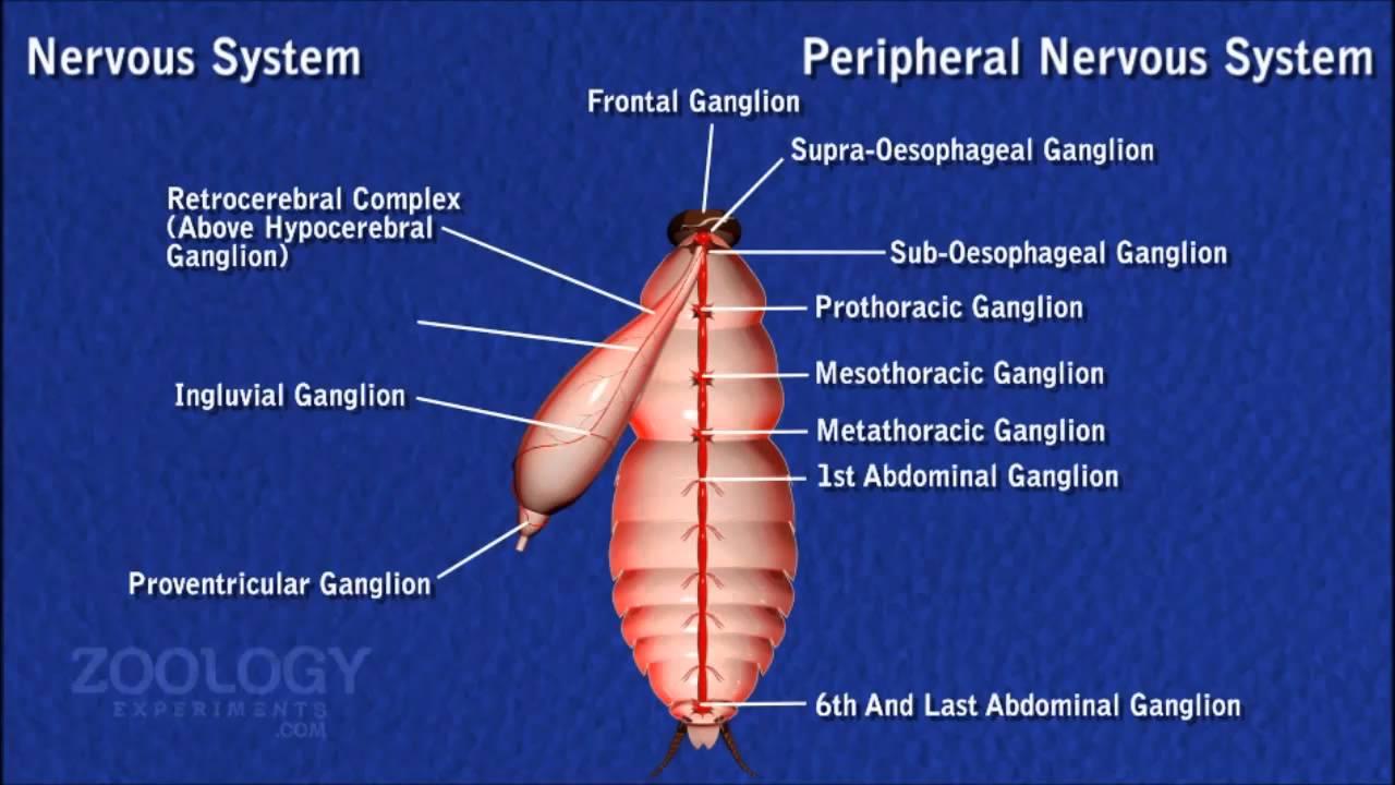 diagram of nerve system [ 1280 x 720 Pixel ]