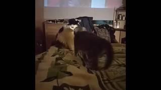 глупая кошка получила люлей