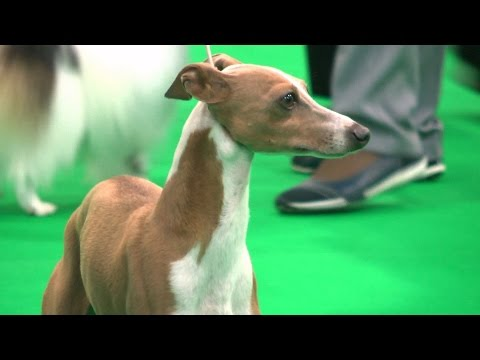 City of Birmingham Dog Show 2016 - Toy group - Shortlist