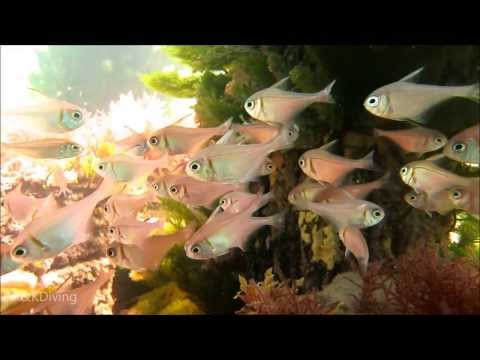 SCUBA Diving A&K HD | Port Victoria Jetty JAN 2014 South Australia