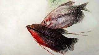 Жемчужный гурами (Trichogaster leerii) - Аквариумные тропические рыбы № 9