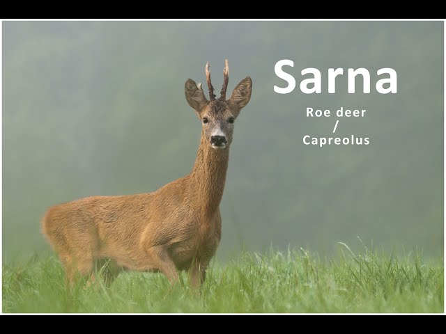 Wiosenne sarny z elementami podchodu / Spring roe deer / Capreolus | fotografuj #zemną