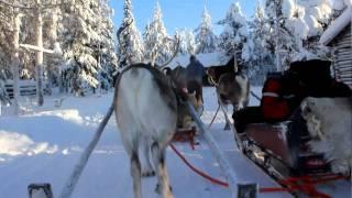2月11日 フィンランドのロヴァニエミでトナカイそり体験.