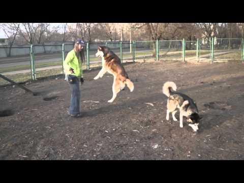 Huskies - frisbee, tricks & fun