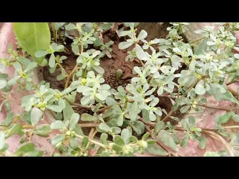 Unwanted Wild grass Kulfa saag/Purslane in pot(59)  जगली पौधा कुलफा साग