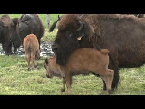 Fermilab Bison