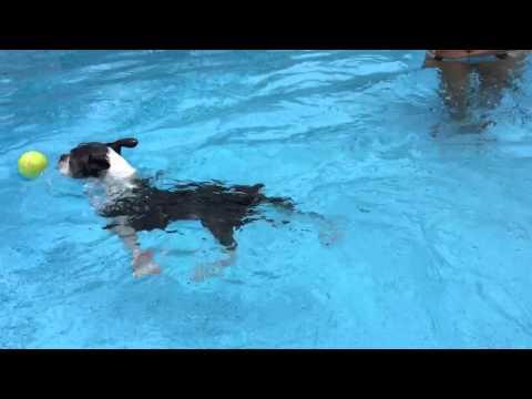 Heidi Splash Boston Terrier !  Lol