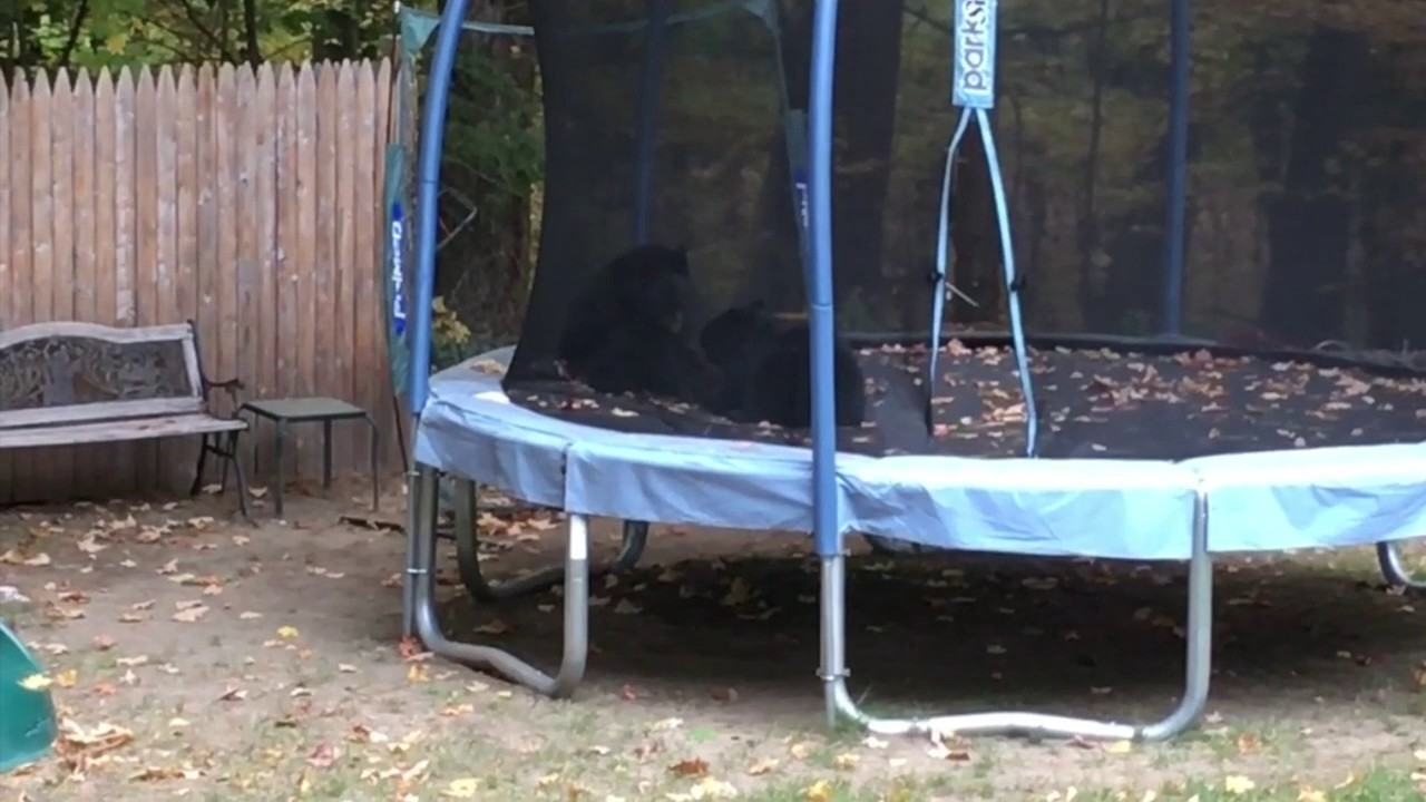 bear cubs eating old apple jacks from garbage and playing on