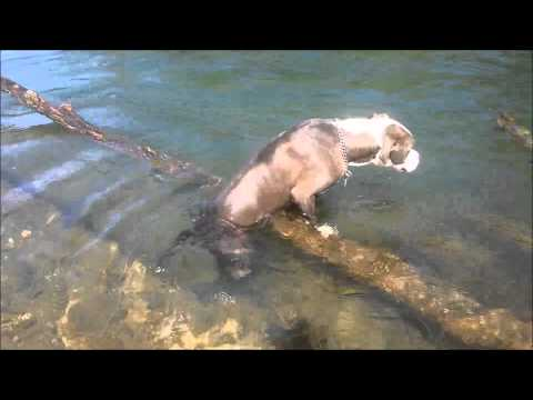 Beautiful pit bull playing in the Yuba River