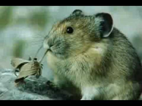 Cute Pika Eating a Leaf