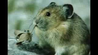 Cute Pika Eating a Leaf