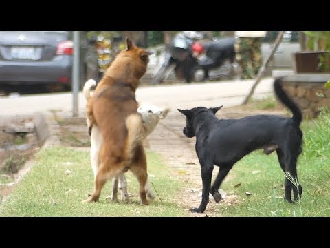 Finnish Spitz Dog Vs Doberman Pinscher Near The River