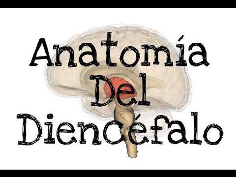 Anatomía del diencéfalo. - YouTube