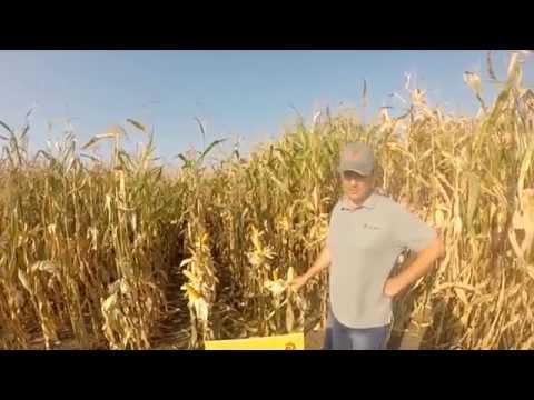 Гібрид кукурудзи - Дніпровський  181СВ, характеристика
