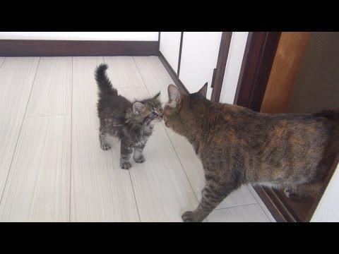 子猫と9匹の猫が初めて会った日 Kitten met 9 cats for the first time