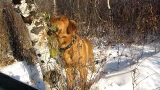 Rottweiler X Mastiff (mastweiler) 7.5 Months Old