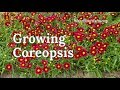 Growing Coreopsis