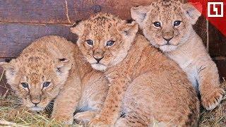 Малыши-львята из Уфы