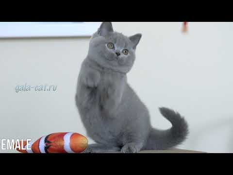 Британские котята в возрасте 2,5 месяца (Litter-P2)
