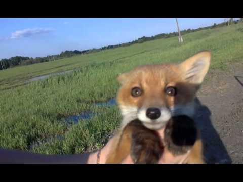 Вопрос: Как поймать лисицу на своем участке?