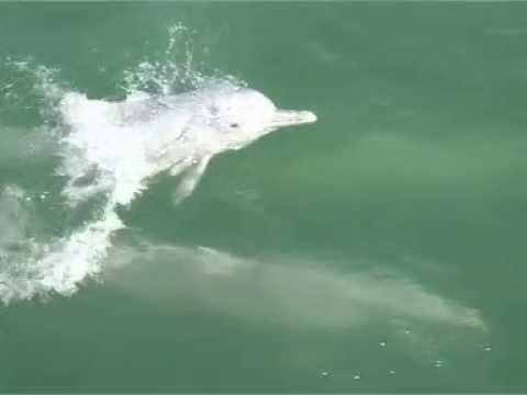 Chinese White Dolphins Part 3