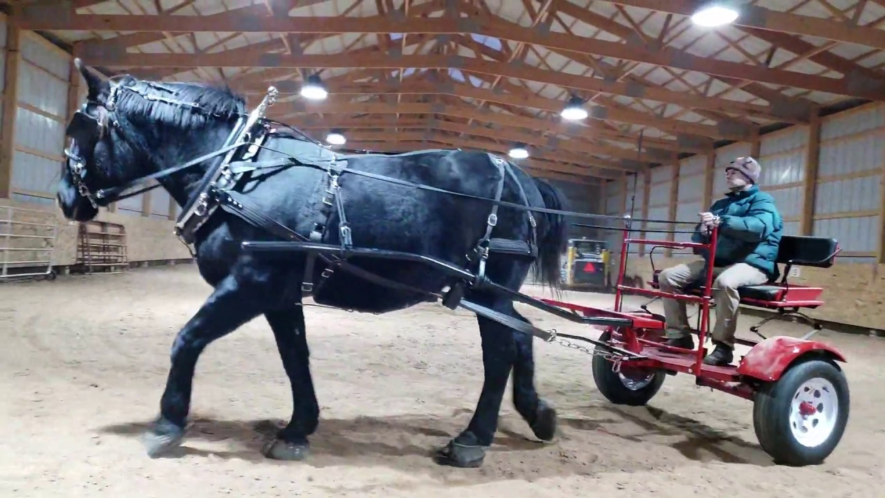 Training Draft Horse Percheron to Drive Pioneer Cart