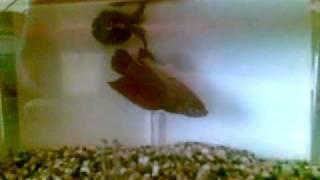 Betta Fish Mating - Ikan Laga Mengawan
