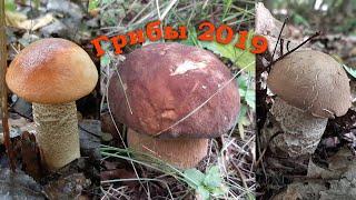 Грибы 2019  Белые грибы подосиновики подберезовики поддубники лисички.