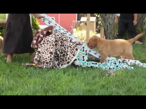 Yellow and Fox Red Labrador Puppies For Sale Jesse Smucker