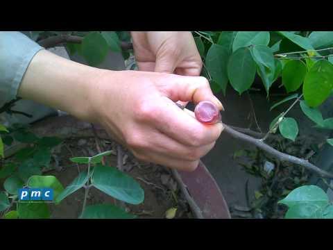Chăm sóc cây cảnh - Kỹ thuật chiết cành nhân giống cây trồng